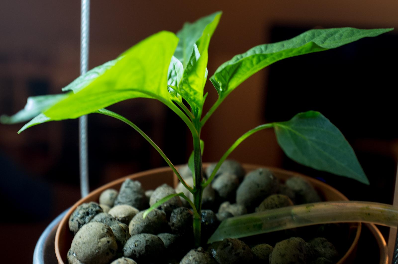 Plant (pepper)